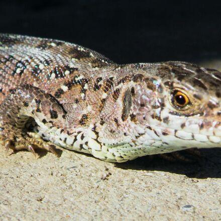 lizard, sand lizard, reptile, Fujifilm FinePix S8100fd