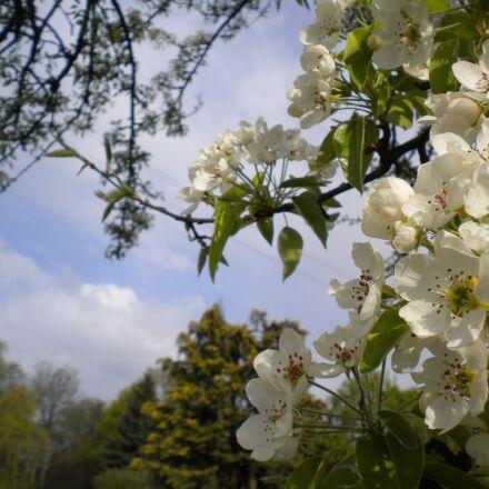 blossom, bloom, cherry blossom, Nikon COOLPIX S225
