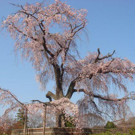 beijing, cherry blossom, the, Sony DSC-T20