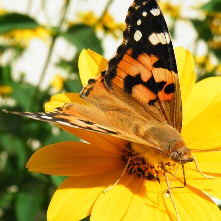 butterfly, vanessa cardui, proboscis, Fujifilm FinePix S8100fd