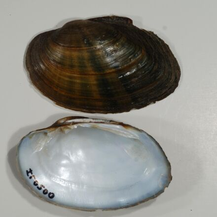 freshwater, mussel, image, Kishwaukee, Nikon D2X