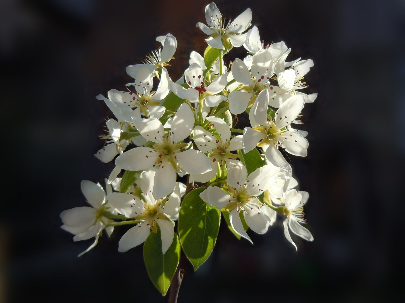 flowers of pear, however