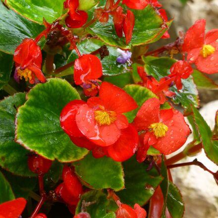 red, flower, floral, Panasonic DMC-ZS20