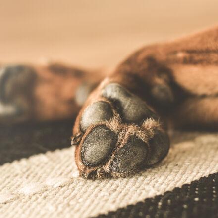 animal, dog, domestic, paws, Nikon D5300