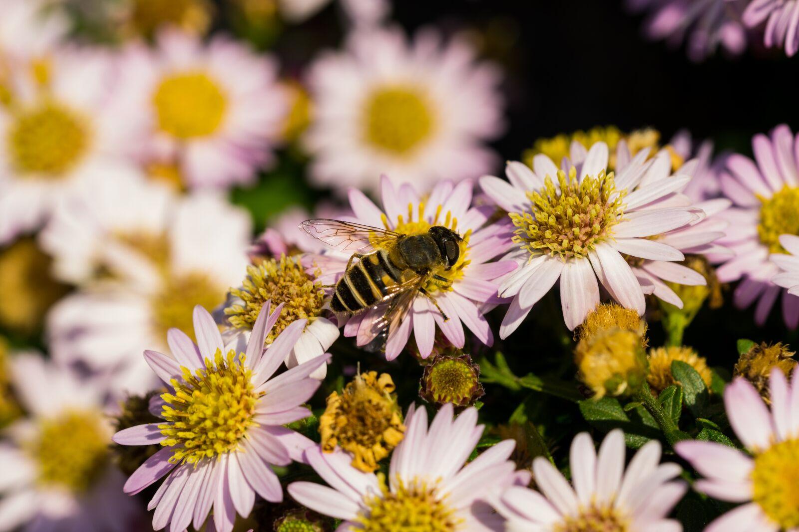 "Sony a6000 sample photo. ""Hoverfly, flowers, macro"" photography"