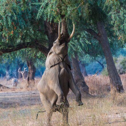 elephant, africa, big, Canon EOS 5D MARK III
