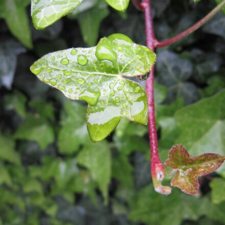 eaindrop, garden, flora, leaf, Canon POWERSHOT A3200 IS