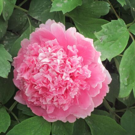 peony, flowers, Canon POWERSHOT A3300 IS