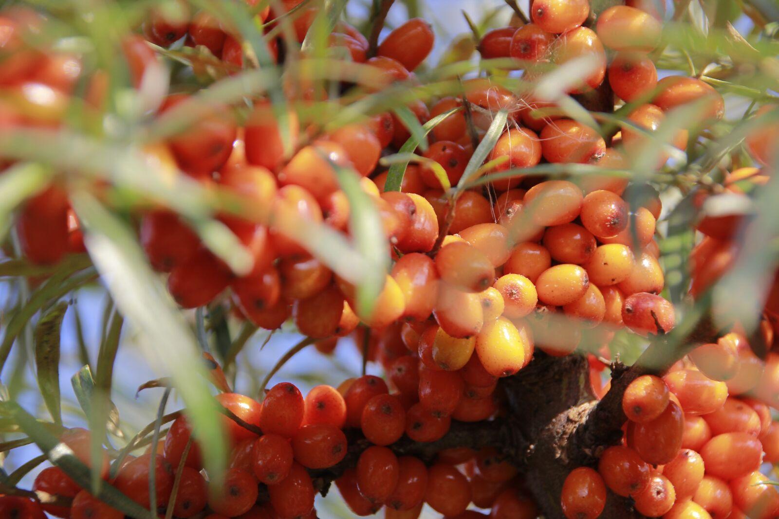 "Canon EOS 60D sample photo. ""Berry, sea-buckthorn, nature"" photography"
