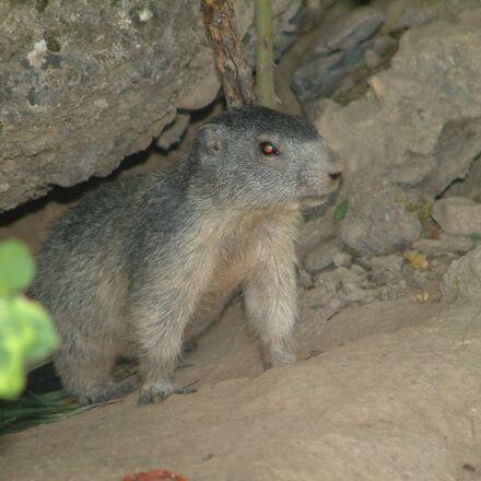 mountain, marmot, wildlife, Fujifilm FinePix S602 ZOOM