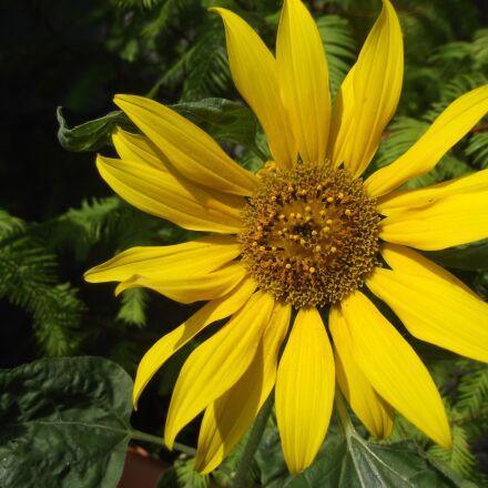flower, sunflower, yellow, Fujifilm FinePix T350