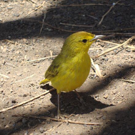 yellow bird, galapagos, sparrow, Sony DSC-W230