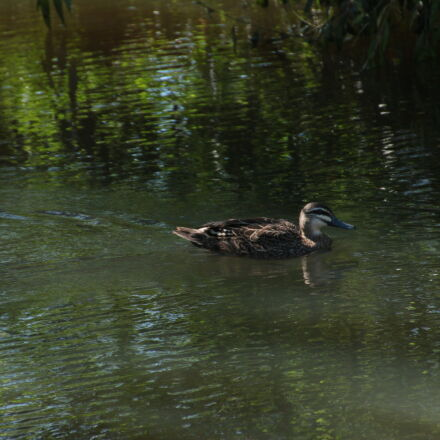 duck, pond, Canon EOS 70D