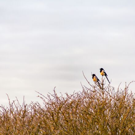 magpie, sunrise, birds, Canon EOS 6D