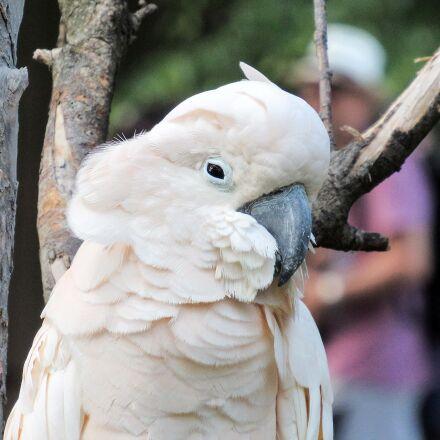 white, feather, bird, parrot, Canon POWERSHOT SX520 HS