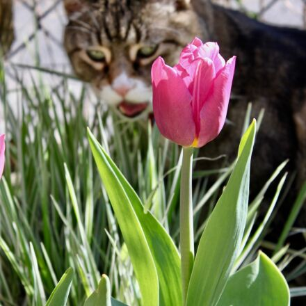 cat, tulip, animal, Canon EOS REBEL T1I