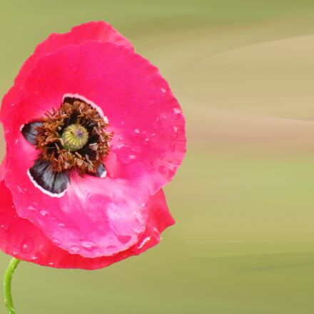 poppy, blossom, bloom, Fujifilm FinePix S8100fd