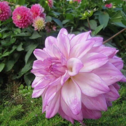 flower, blossom, bloom, Canon IXUS 500 HS