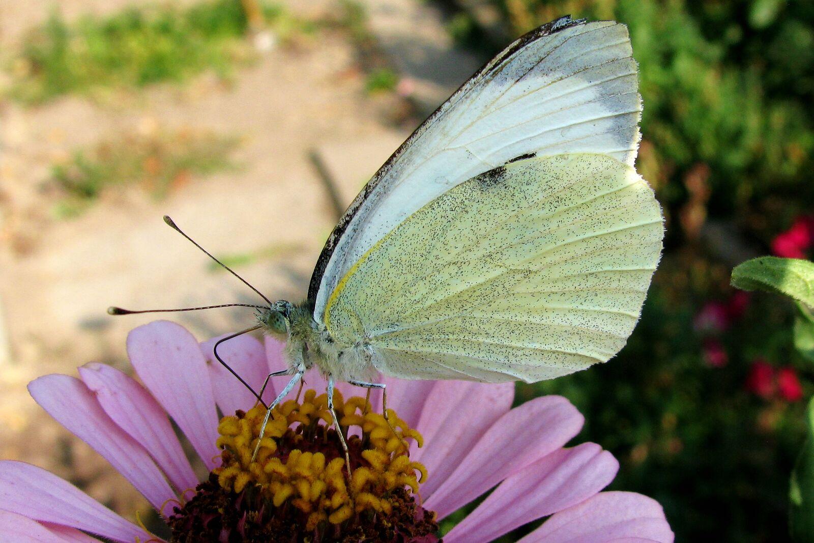 "Canon PowerShot SX110 IS sample photo. ""Nature, garden, gonepteryx rhamni"" photography"