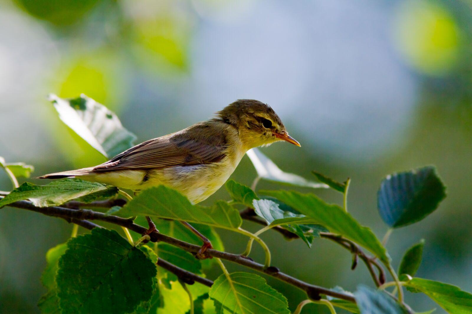 """Canon EOS 7D sample photo. """"Willow, bird, animals"""" photography"""