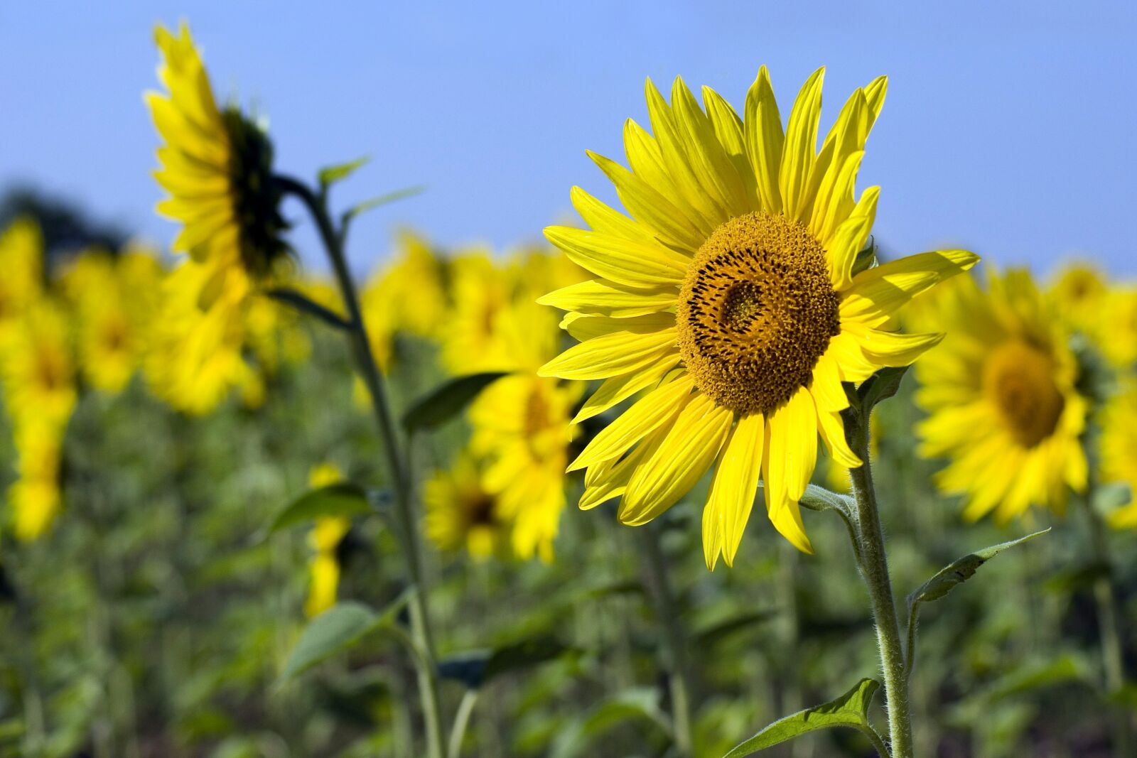 """Pentax K10D sample photo. """"Sunflower, fields, agriculture"""" photography"""
