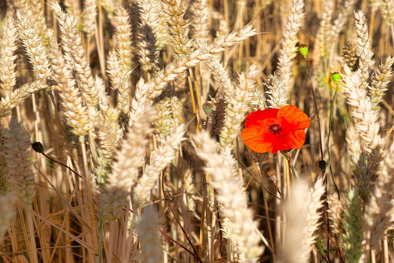 "Fujifilm X-E1 sample photo. ""Poppy, grain, summer"" photography"