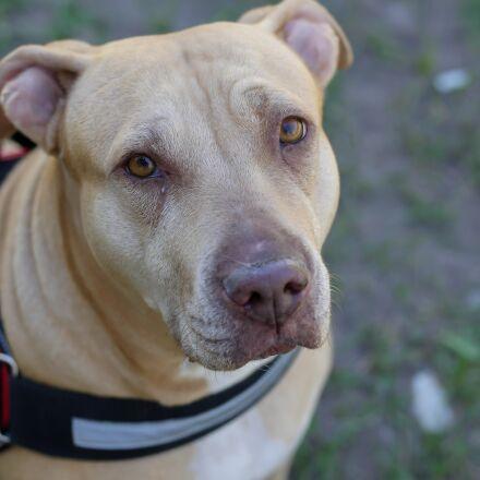 pit-bull, service dog, veterinarian, Panasonic DMC-GH4