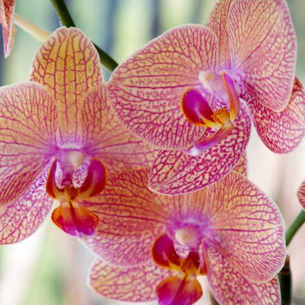 flower, orchid, rosa, Canon EOS 6D MARK II
