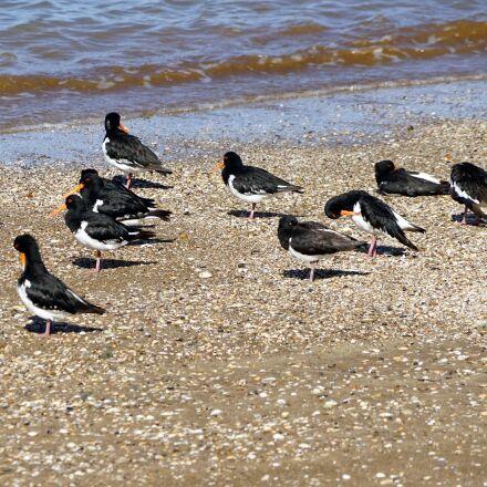 oystercatcher, beach, sea, Sony ILCE-7