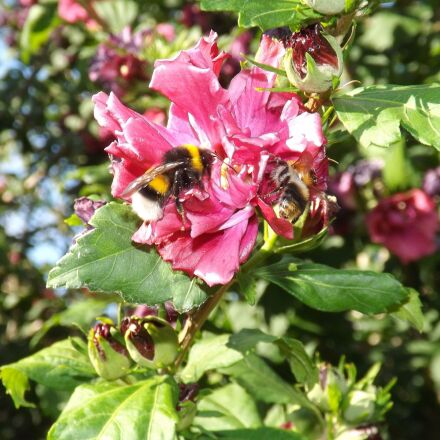 bumblebees, mallow, insect, Fujifilm FinePix S4500