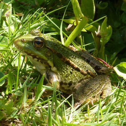 toad, water, grass, Panasonic DMC-TZ6