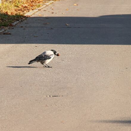crow, hooded crow, food, Canon EOS 1100D