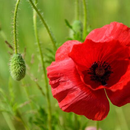 flower, nature, red, poppy, Nikon D5500