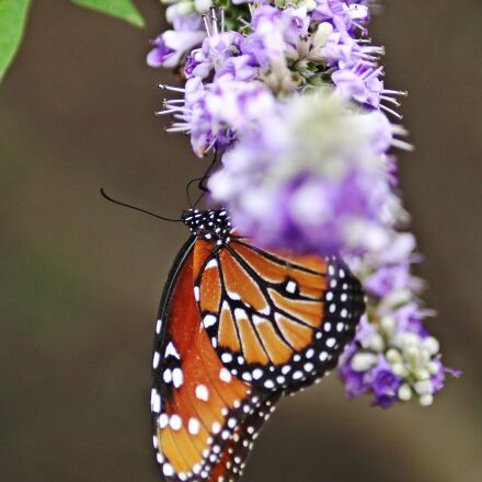 monarch butterfly, flower with, Canon EOS 60D