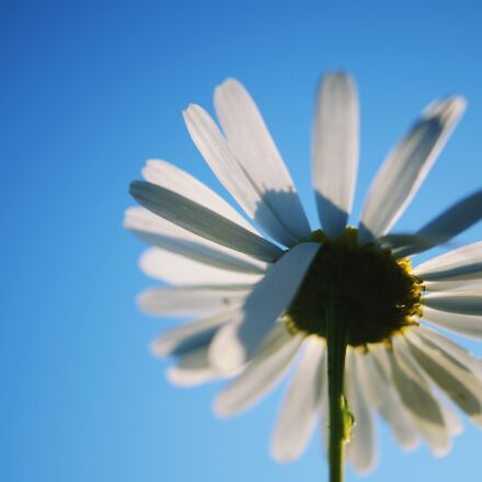 flower, white, Sony SLT-A58