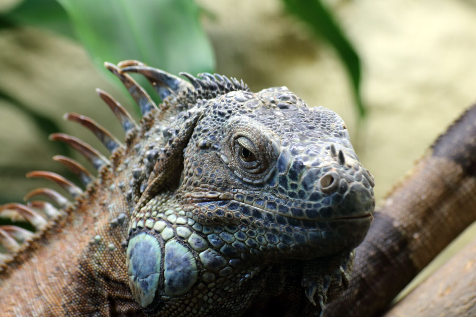 """Canon EOS 70D sample photo. """"Iguana, reptile, lizard"""" photography"""