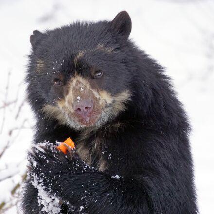 spectacled bear, predator, food, Sony ILCA-77M2