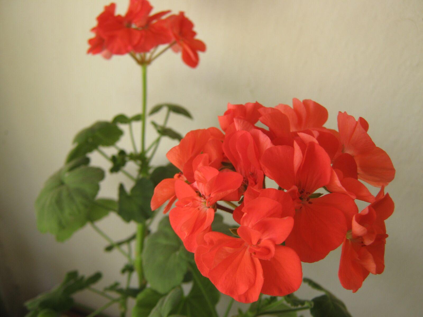 "Canon PowerShot A470 sample photo. ""Geranium, flowers, home"" photography"