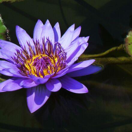 water lily, pond plants, Panasonic DMC-ZS7