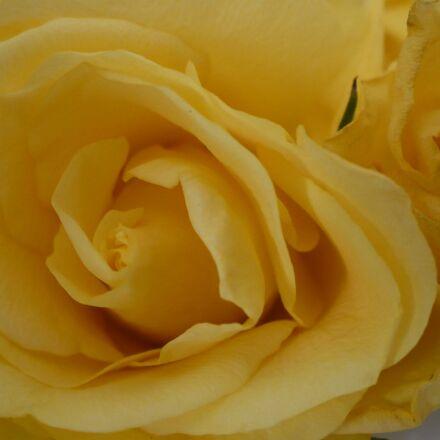 yellow, rose, flower, Panasonic DMC-LZ7