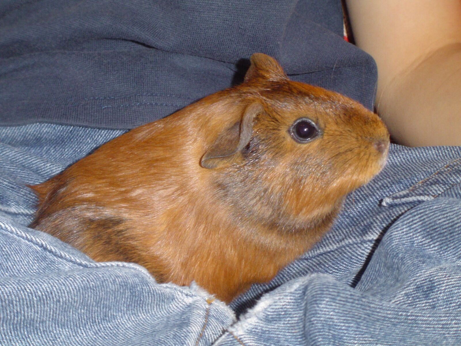 """Sony DSC-P72 sample photo. """"Guinea pig, sweet, small"""" photography"""