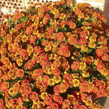 flowers, zinnias, orange, Panasonic DMC-ZS1