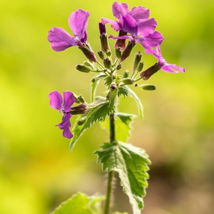 nature, plant, flower, Sony ILCE-7RM2