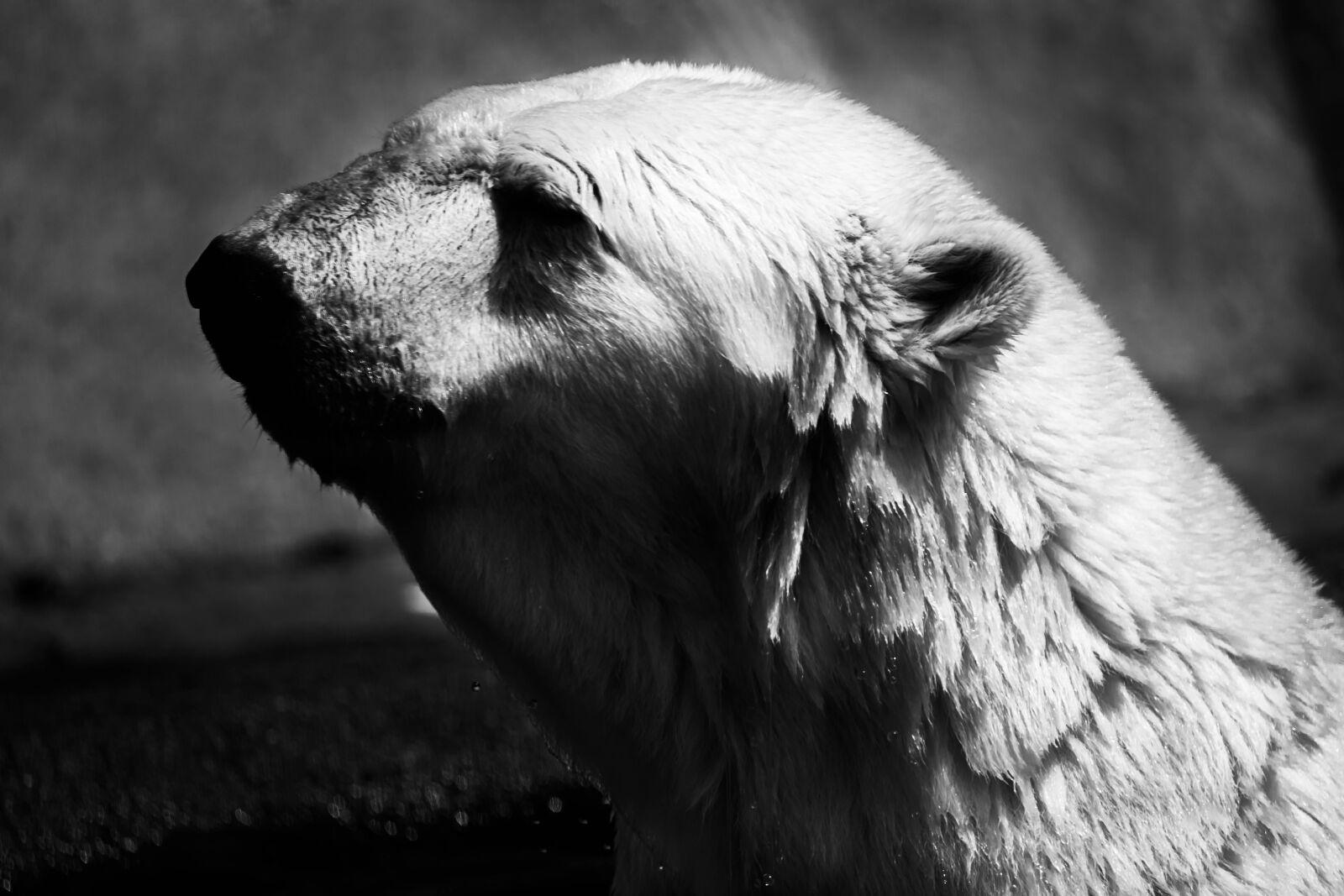 bear, polar, polar bear