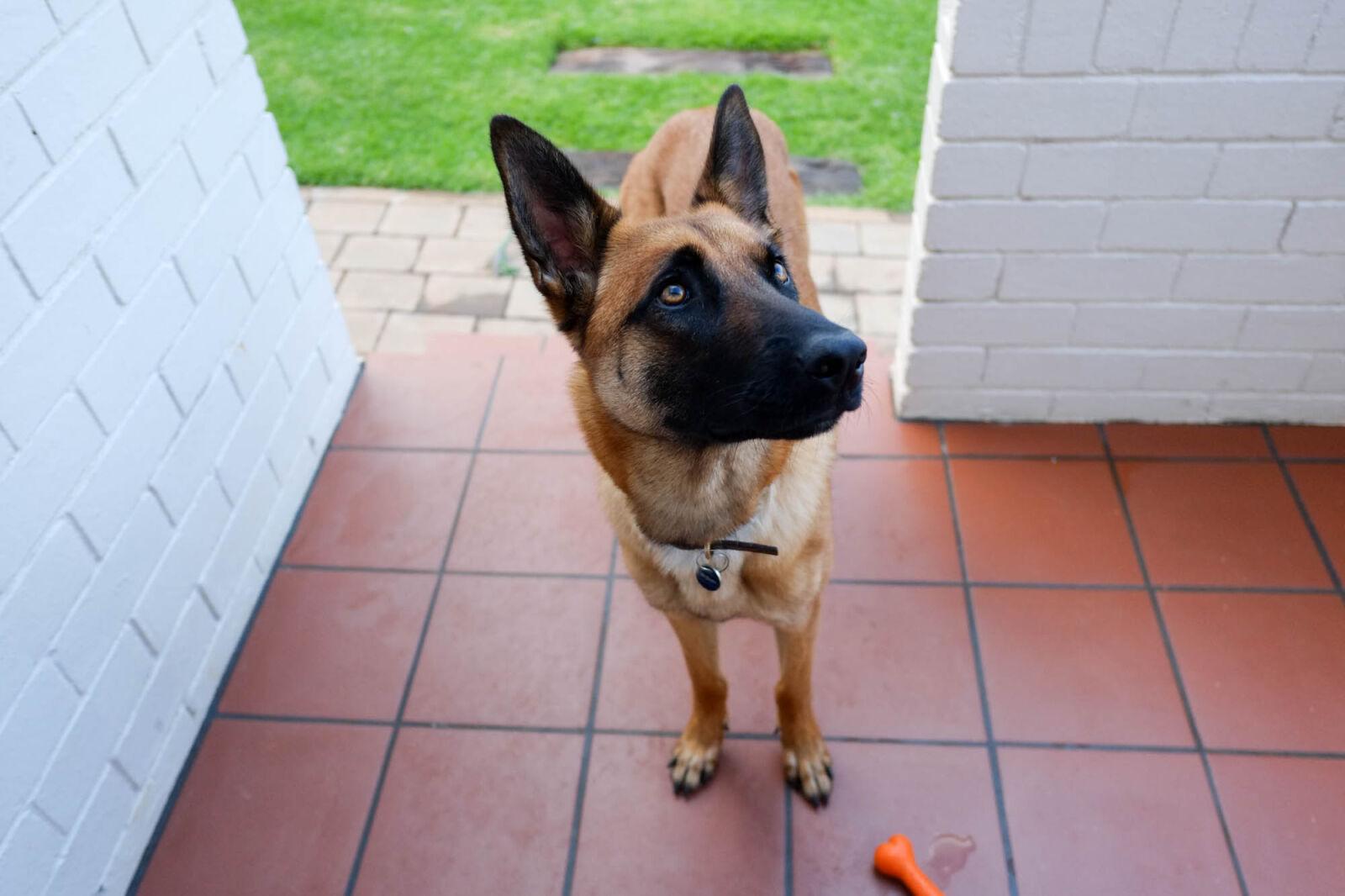"Fujifilm X-Pro1 sample photo. ""Belgian, shepherd, dog, dog"" photography"