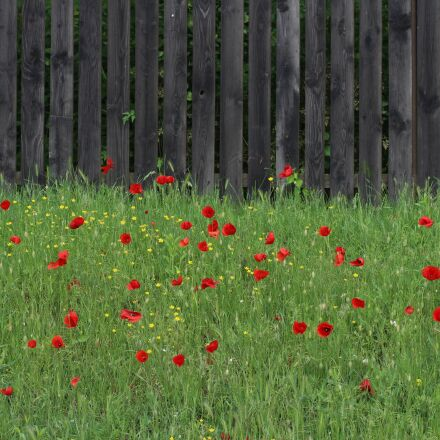poppies, fence, red, Canon EOS 700D