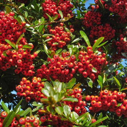 pyracantha scan, december, winter, Canon IXY DIGITAL 910 IS