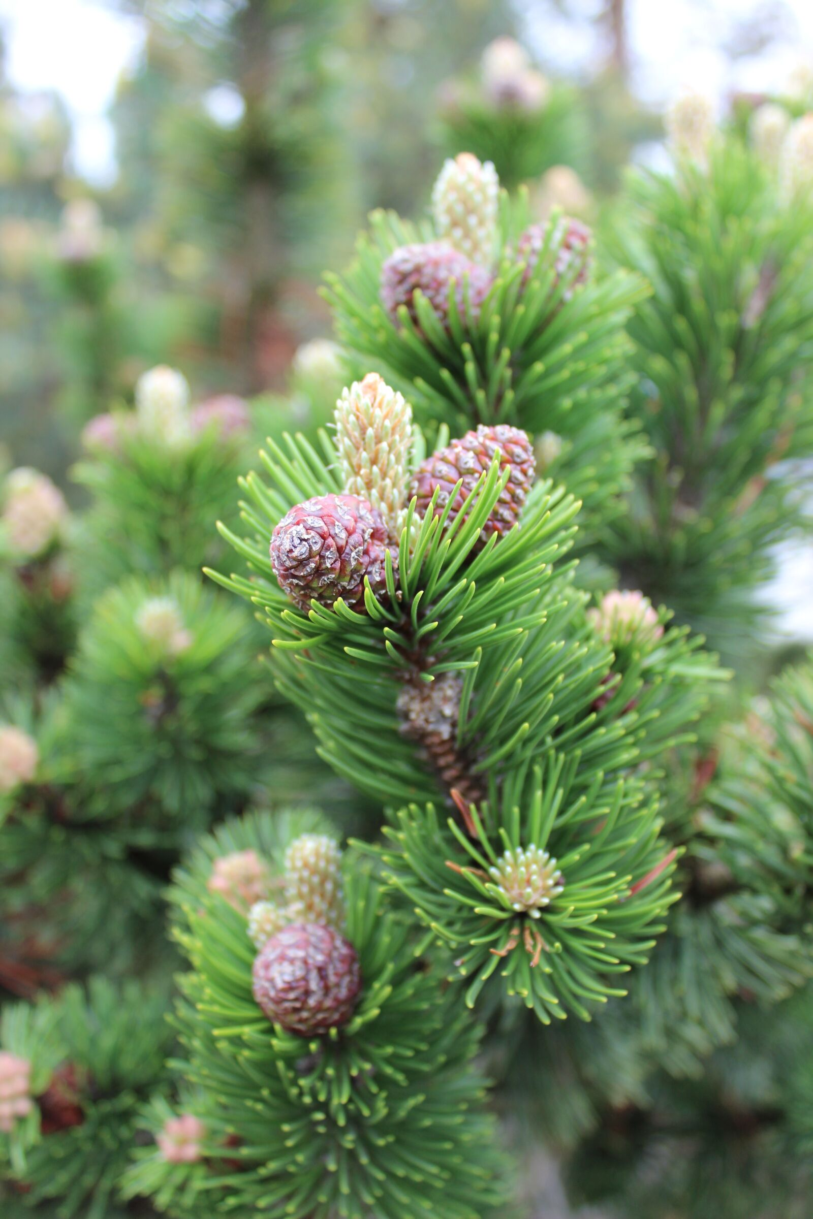 """Canon EOS 600D (Rebel EOS T3i / EOS Kiss X5) sample photo. """"Tree, larch, cones"""" photography"""