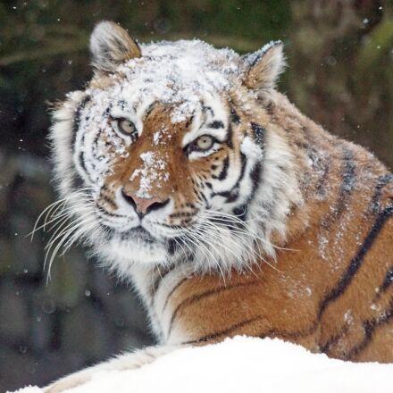 amurtiger, big cat, predator, Sony ILCA-77M2