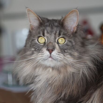 maine coon, cat, breed, Canon EOS 600D